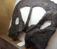 Torosaurus Frill